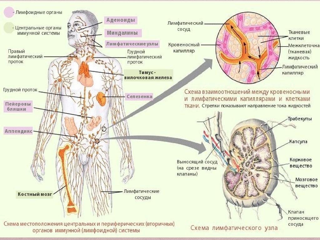 Воспаление лимфатических узлов в подмышечной впадине